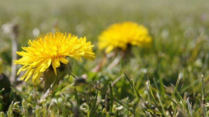 Dandelion na pogodnym miejscu zdjęcie stock