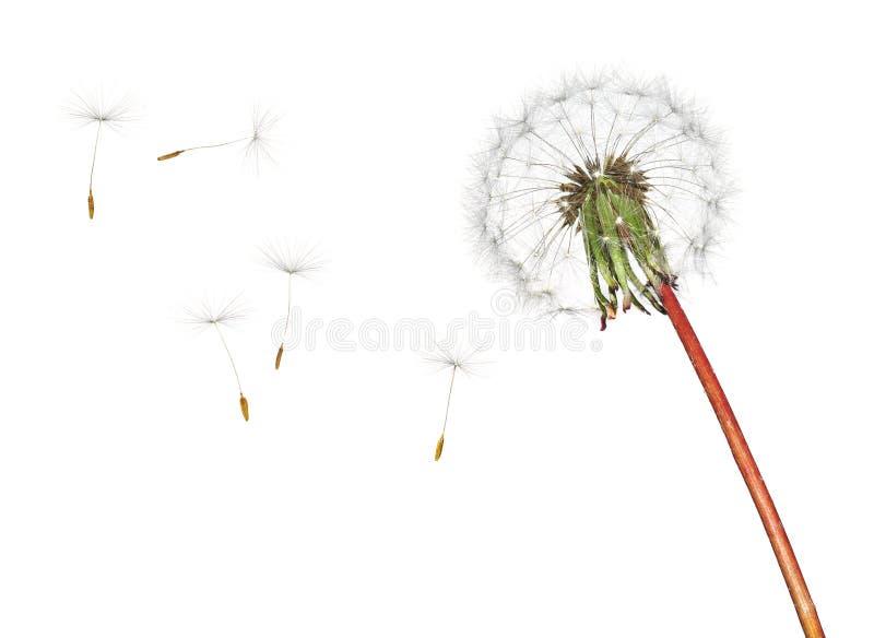 Dandelion odizolowywający na białym tle fotografia stock