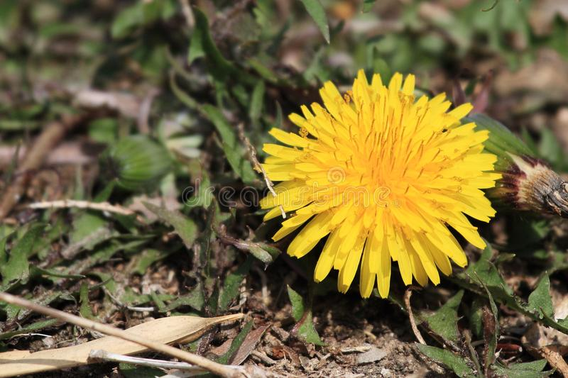 Dandelion(Taraxacum mongolicum Hand.-Mazz). Dandelion is often praised as one of the `eight big diamond`, which has the effect of clearing heat and royalty free stock photography