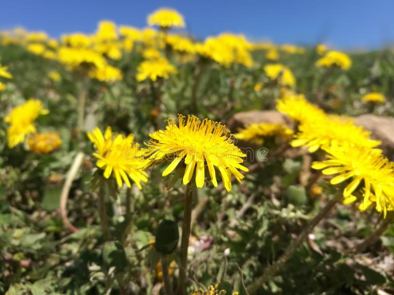 Dandelion. One of many yellow dandelion soldiers shows us how to dream royalty free stock photo