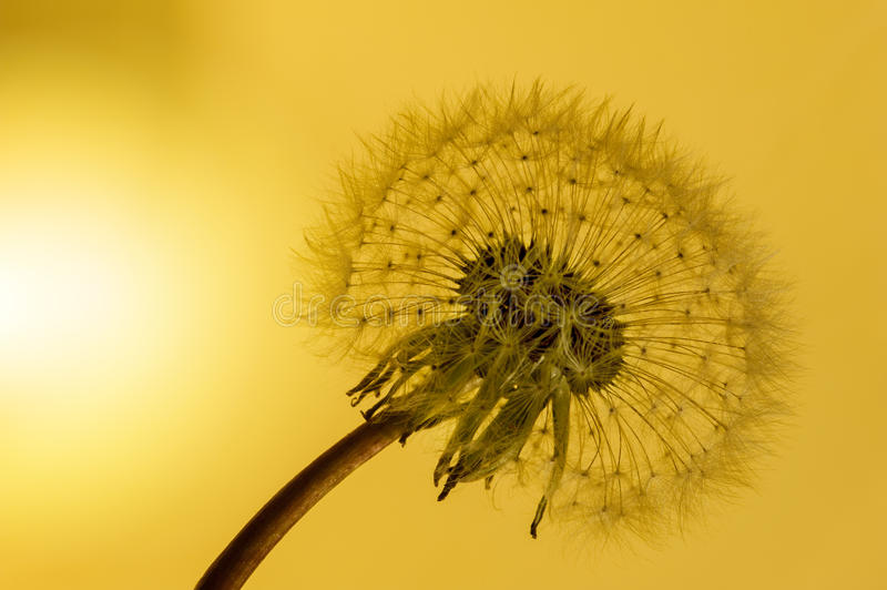 Dandelion. And one seed on top with sunset background royalty free stock photo