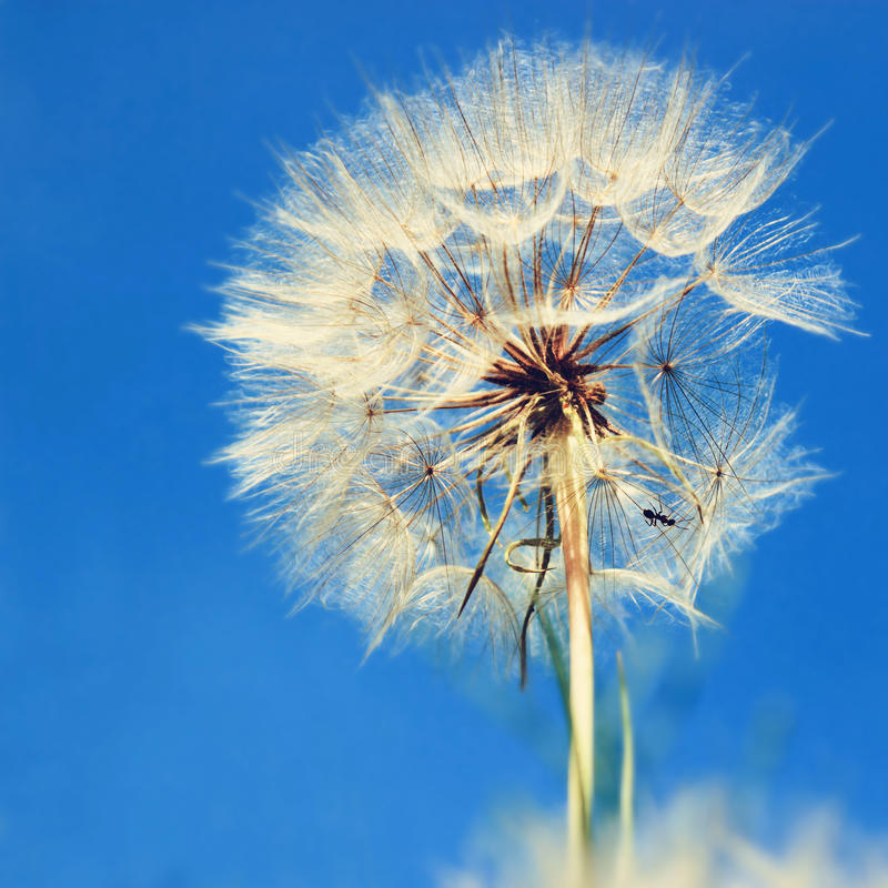Dandelion Over Blue Sky Stock Photo. Image Of Head