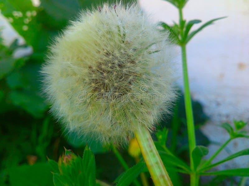 dandelion piękny pole kwitnie wiosna zdjęcie stock