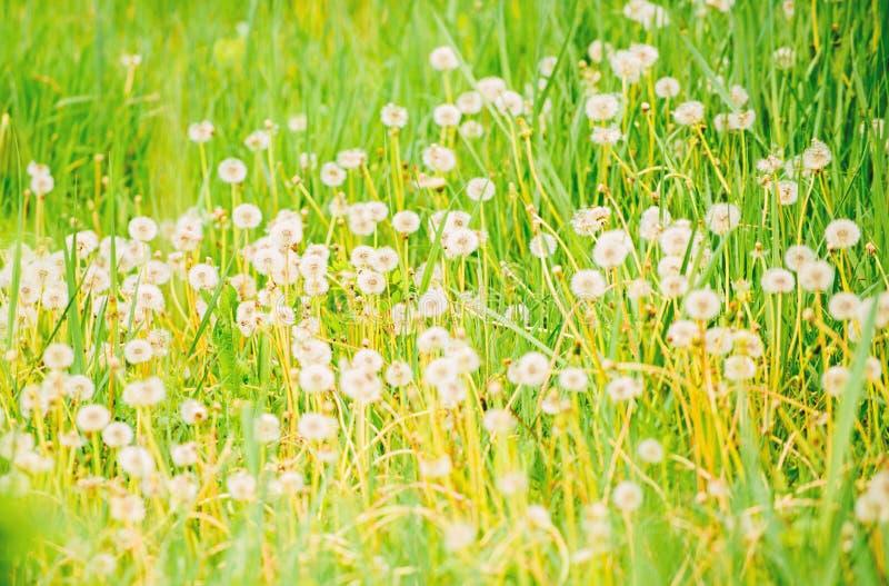dandelion pi?kny pole kwitnie wiosna E Naturalny t?o Wiosny poj?cie du?o zdjęcia stock