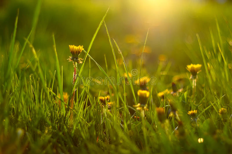 Dandelion. Picture of multiple dandelions in grass, during golden hour royalty free stock photo