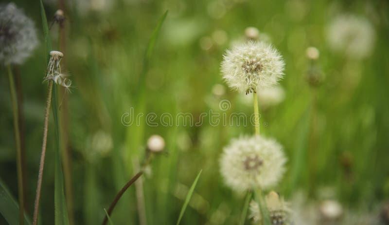 Dandelion pole i wysoka zielona trawa obraz royalty free