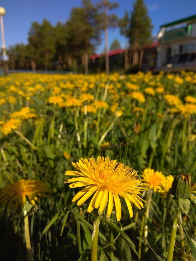 Dandelion pole w Rosyjskiej tajdze zdjęcie royalty free