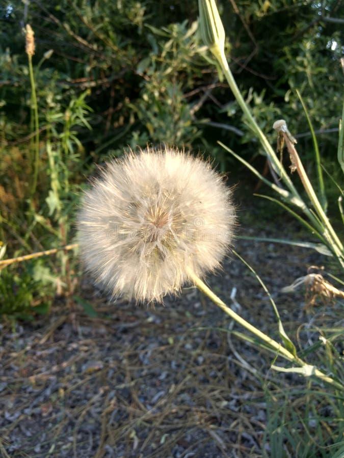 Dandelion przed ?yczeniem zdjęcie stock