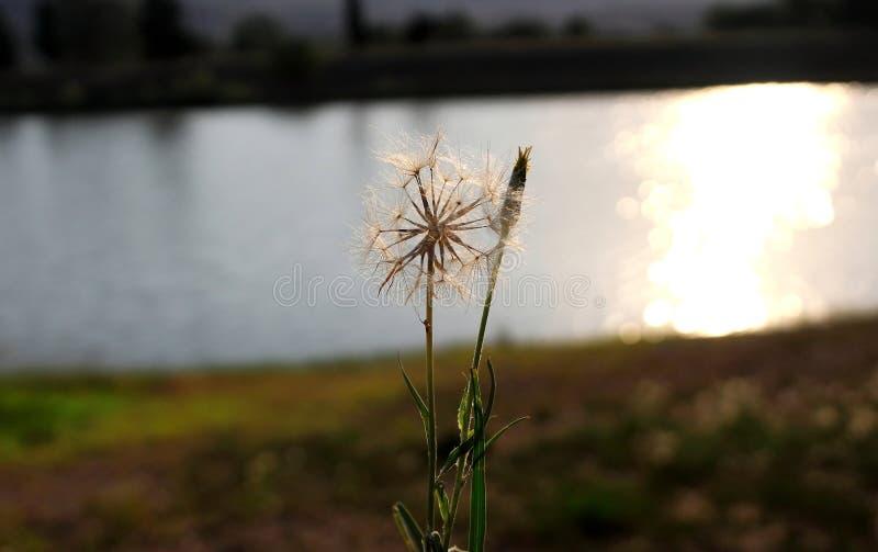 Dandelion przy jeziorem zdjęcia stock