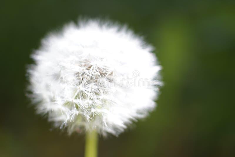 Dandelion przygotowywający dmuchającym obrazy royalty free
