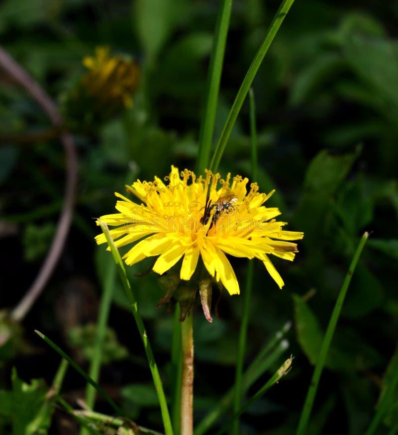Dandelion & pszczoła obrazy stock