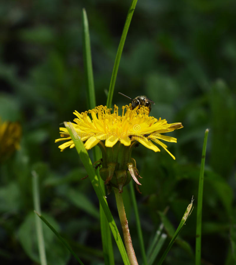 Dandelion & pszczoły Boczny widok obraz stock