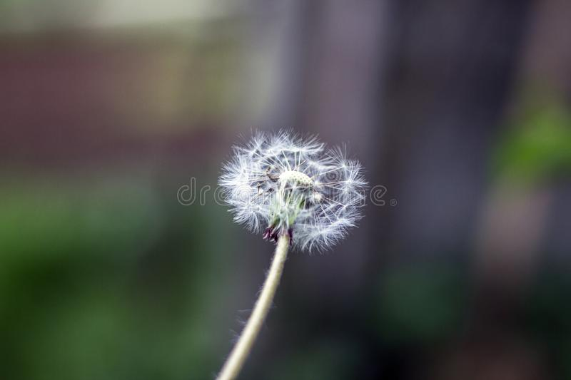 Dandelion puff ball, blow ball, seed head, leontodon taraxacum from low angle or perspective isolated with select focus. Soft bokeh background stock photography