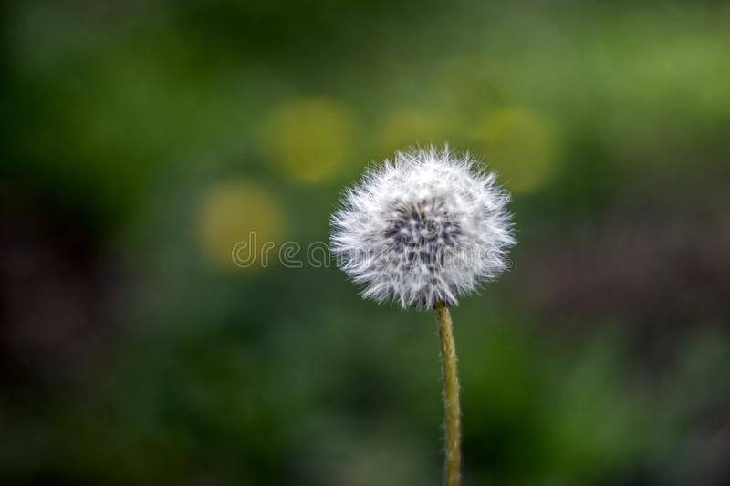 Dandelion puff ball, blow ball, seed head, leontodon taraxacum from low angle or perspective isolated with select focus, soft. Bokeh background stock image
