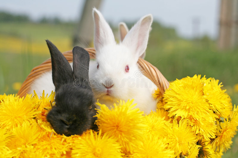 Dandelion rabbits stock photo