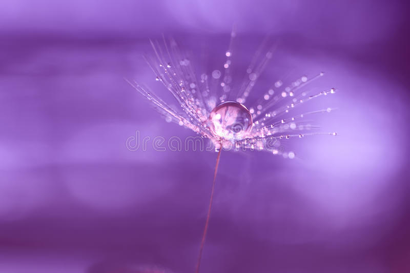Dandelion after rain with drops of water stock images