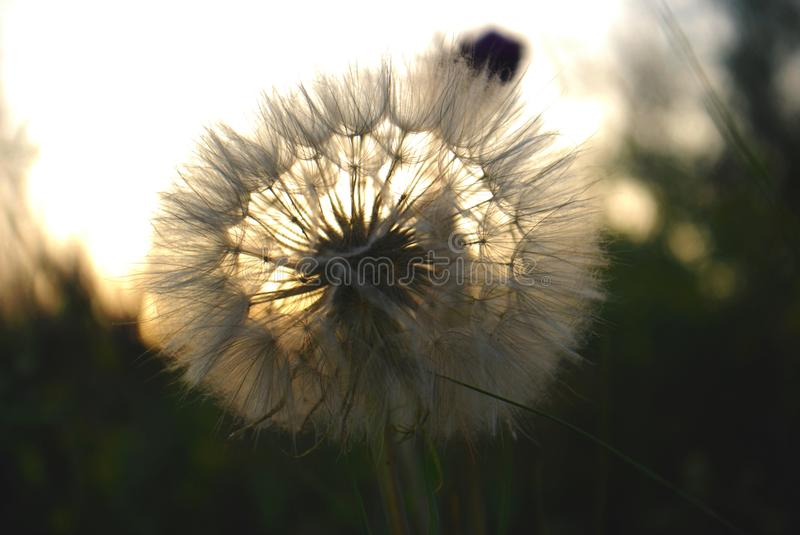 Dandelion in the rays of the sunset stock photo