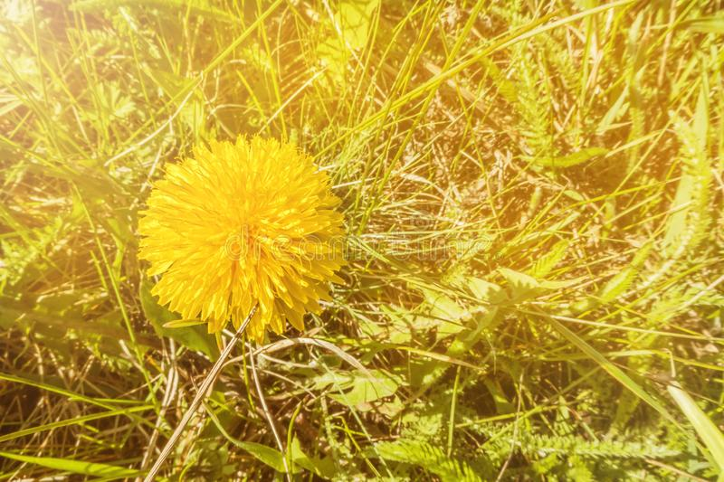 Dandelion in the rays of yellow light close-up with copy space stock photos