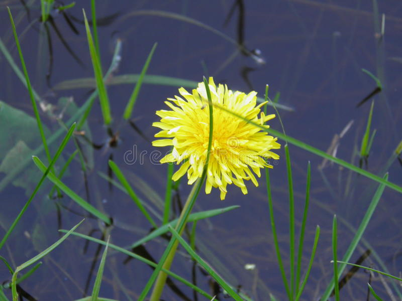 Download Dandelion by the river stock image. Image of growing - 28992641
