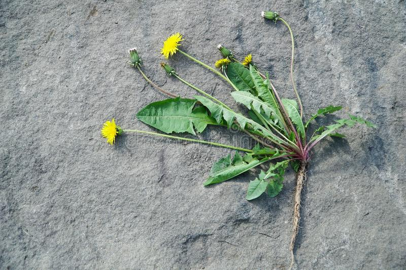 Dandelion Root. Single dandelion plant, freshly pulled out from the ground, was placed on the rock background to illustrate the root royalty free stock images