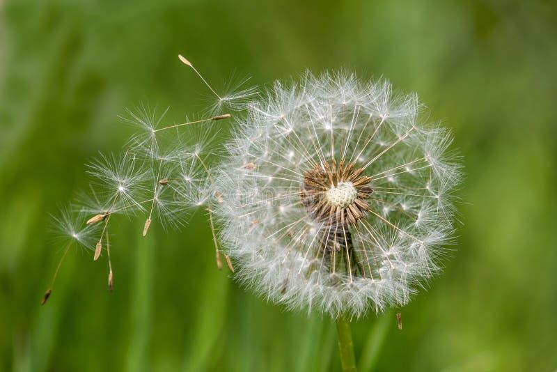 Dandelion rozpierzchania zegarowi ziarna fotografia stock