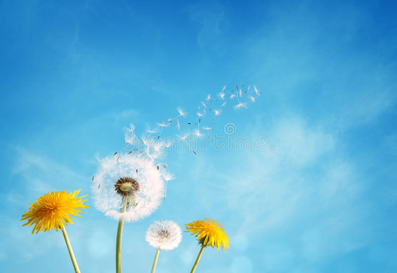 Dandelion rozpierzchania zegarowy ziarno fotografia stock