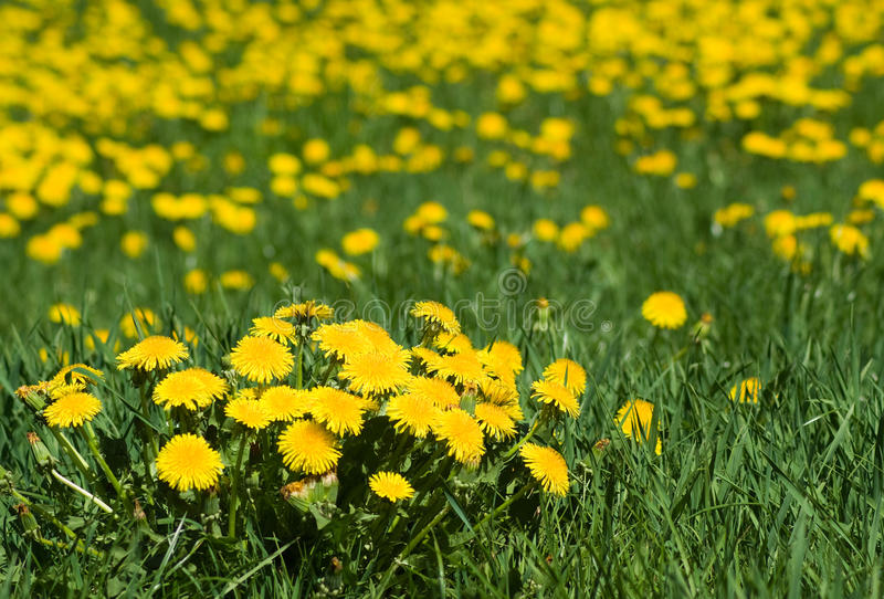 Download Dandelion's Field Royalty Free Stock Images - Image: 12780199