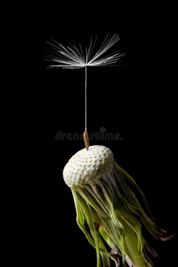 Download Dandelion seed stock image. Image of background, single - 14356099
