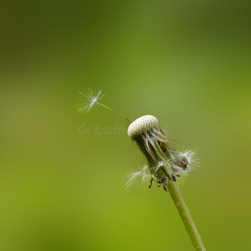 Download Dandelion seed stock photo. Image of grass, close, flying - 18420110