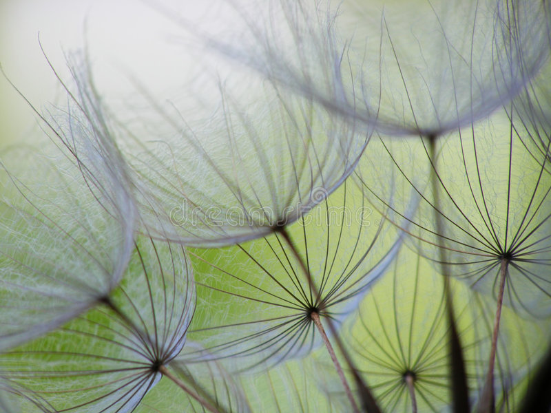 Dandelion seed stock images