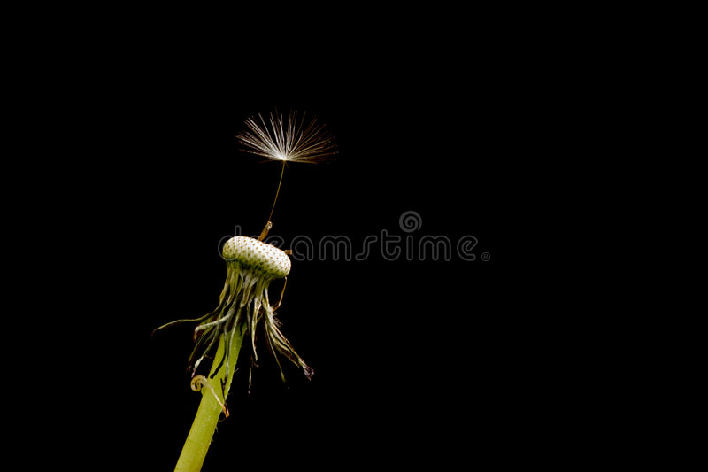 Dandelion Seed. A single seed left on a dandelion isolated on black Latin Name: Taraxacum officinale stock photo