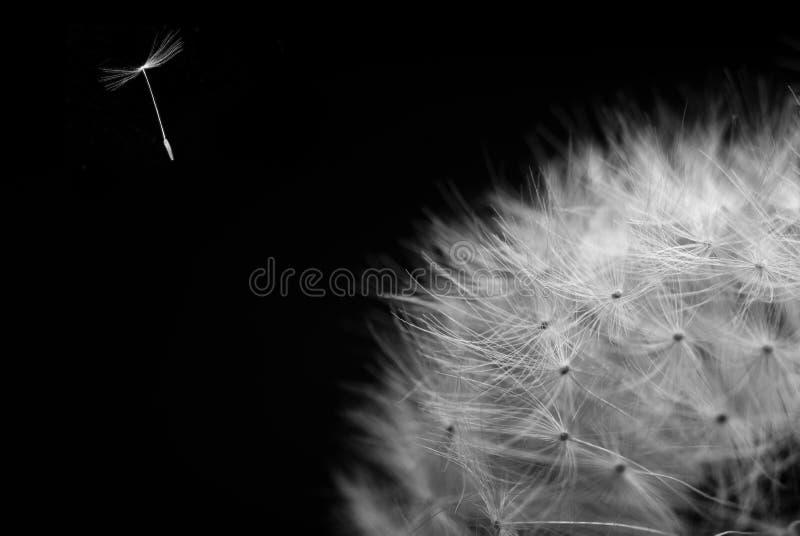 Dandelion seed flying away stock images