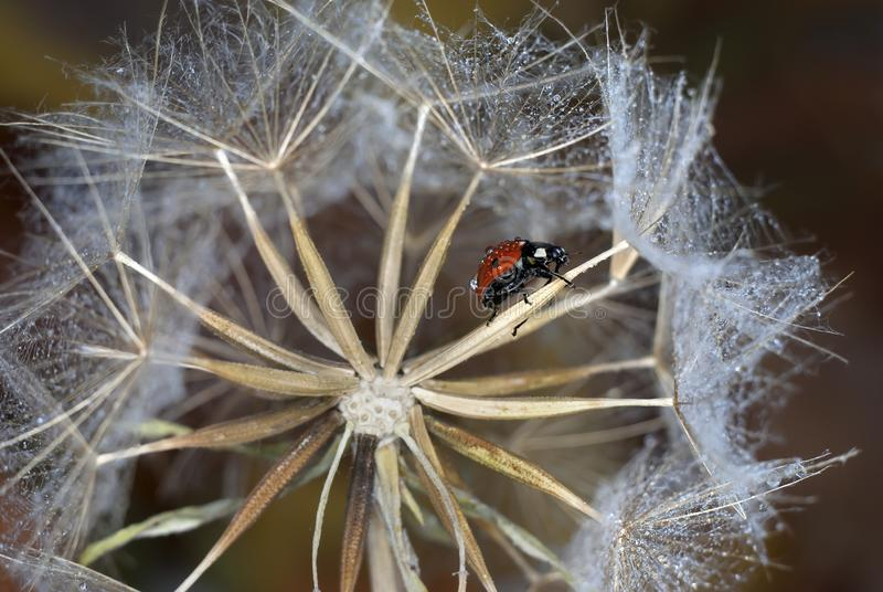 Dandelion seed in the form of a round pattern on one of which sits a ladybug on a brown background stock images