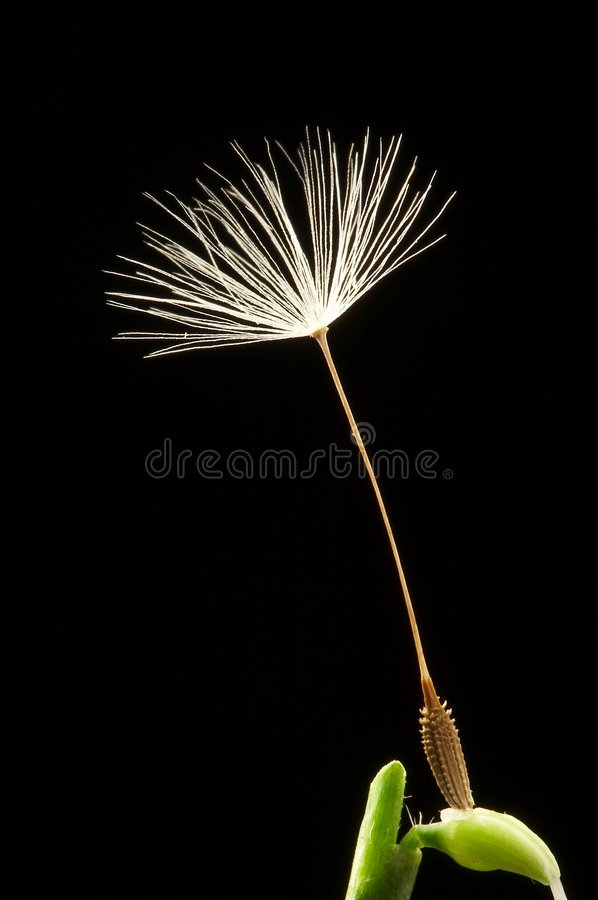Dandelion seed on green bud stock images