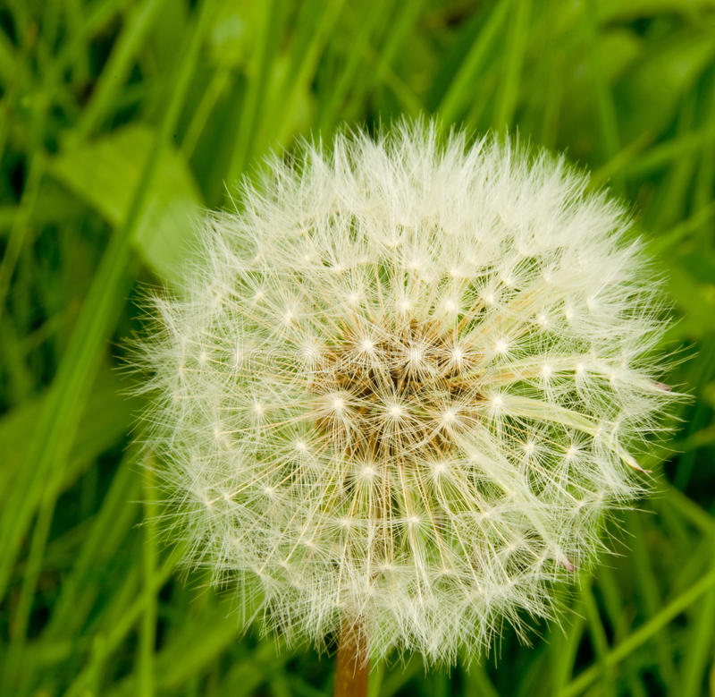 Download Dandelion seed head. stock illustration. Illustration of blow - 14386844