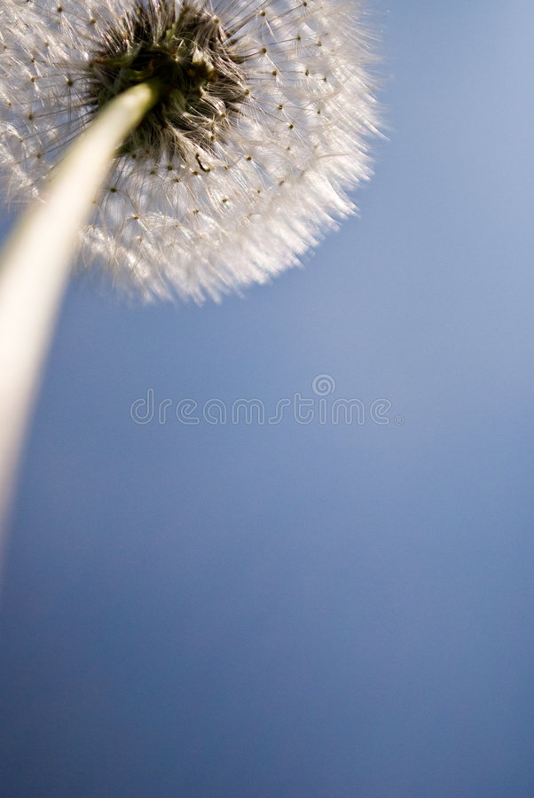 Dandelion seed head. A dandelion seed head, or 'dandelion clock stock images