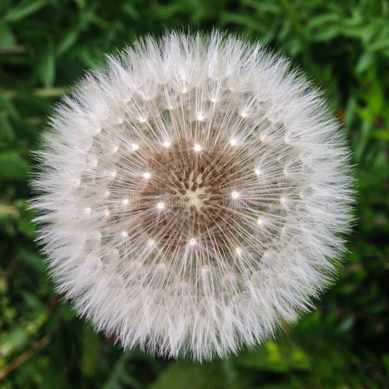 Dandelion White Globular Head Of Seeds On The Blue Sky: Complete Fluffy Dandelion Seed Head Stock Image