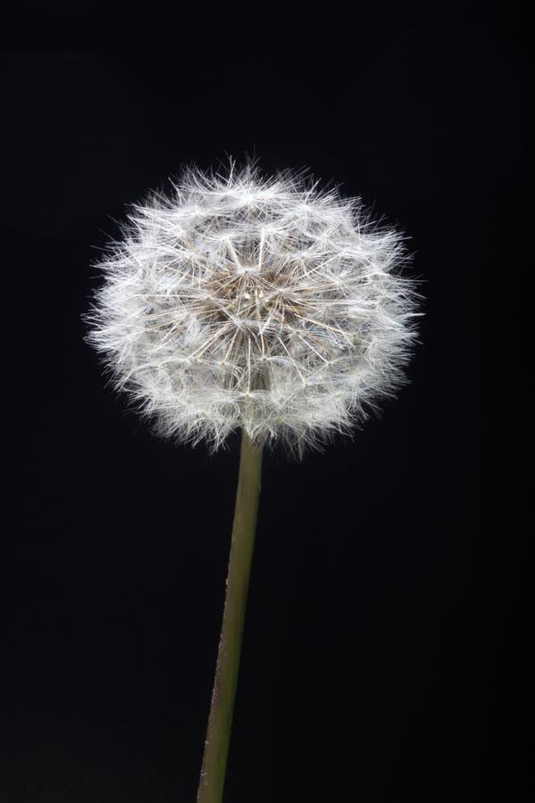 Dandelion seed head against dark backdrop stock image