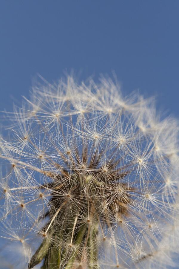 Dandelion seed head with blue sky. Glowing dandelion seed head in bright daylight with blue sky. Macro, close up photograph of a dandelion in bright sunlight royalty free stock image