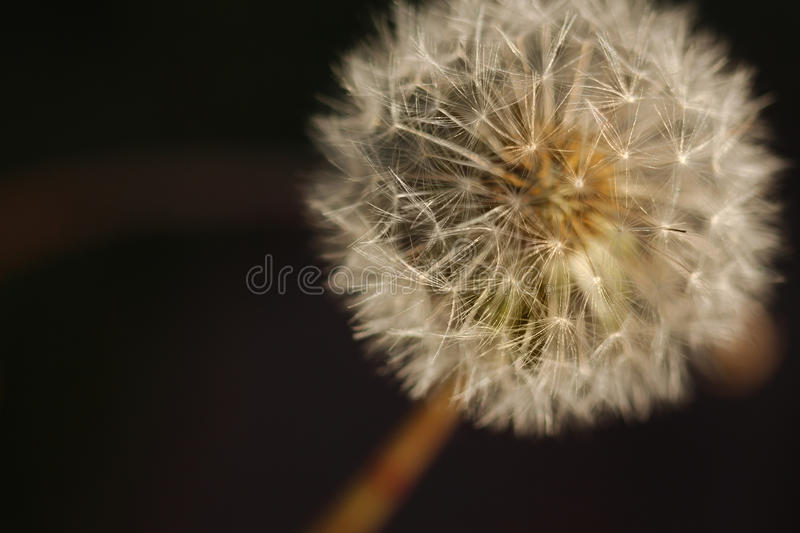 Dandelion Seed Head - close up stock photography