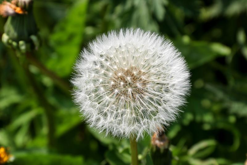 Dandelion Seed Head Close Up View stock images