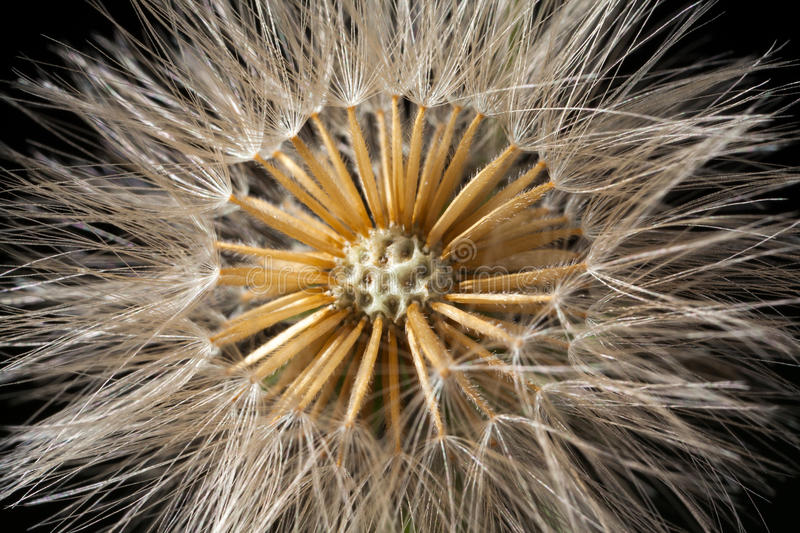 Dandelion seed head details stock image