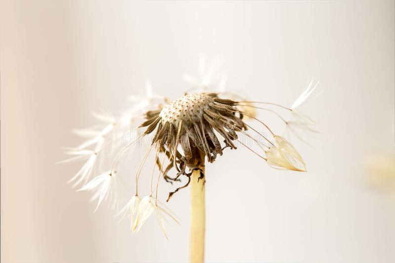 Dandelion seed head with few seeds left stock images