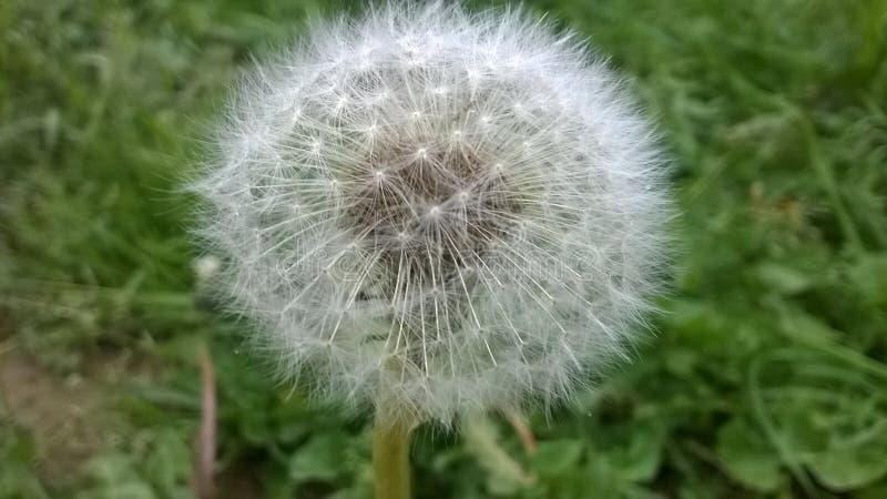 Dandelion Seed Head In Grass Free Public Domain Cc0 Image
