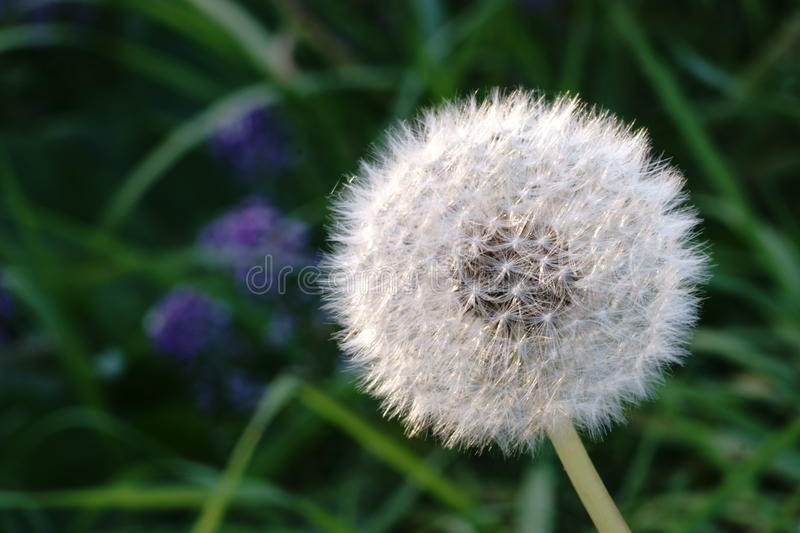 Dandelion Seed Head royalty free stock photo