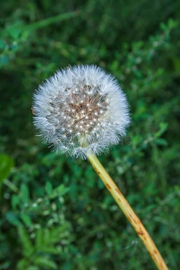 Dandelion seed head ready to be blown in the wind royalty free stock images