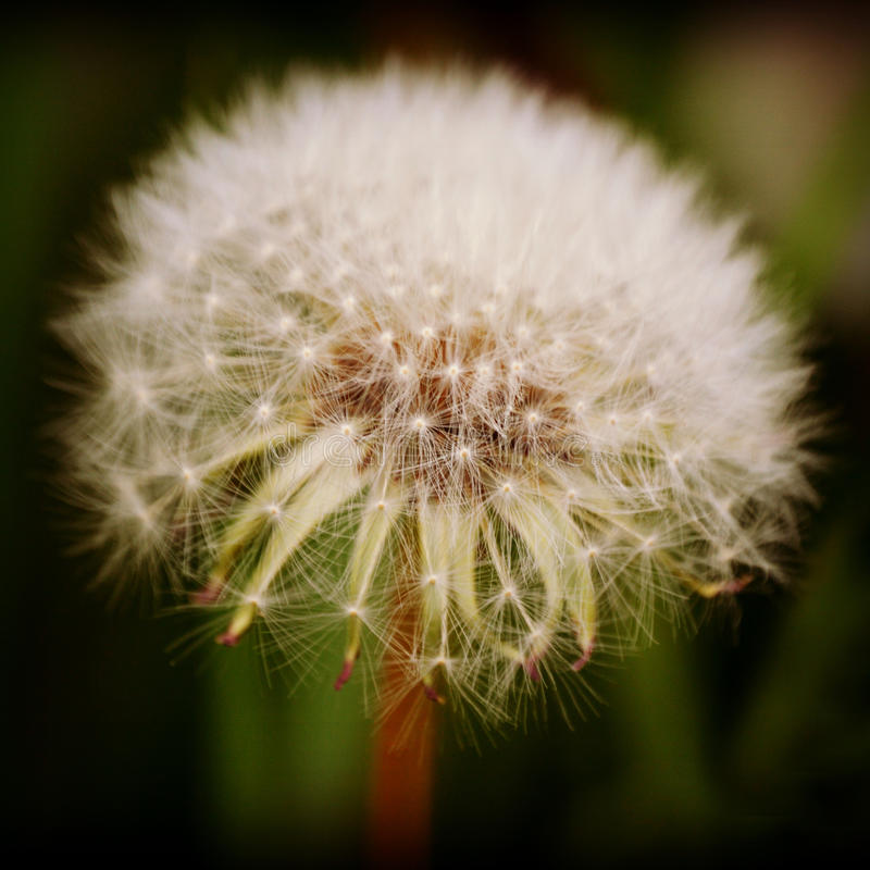 Dandelion Seed Head stock photos