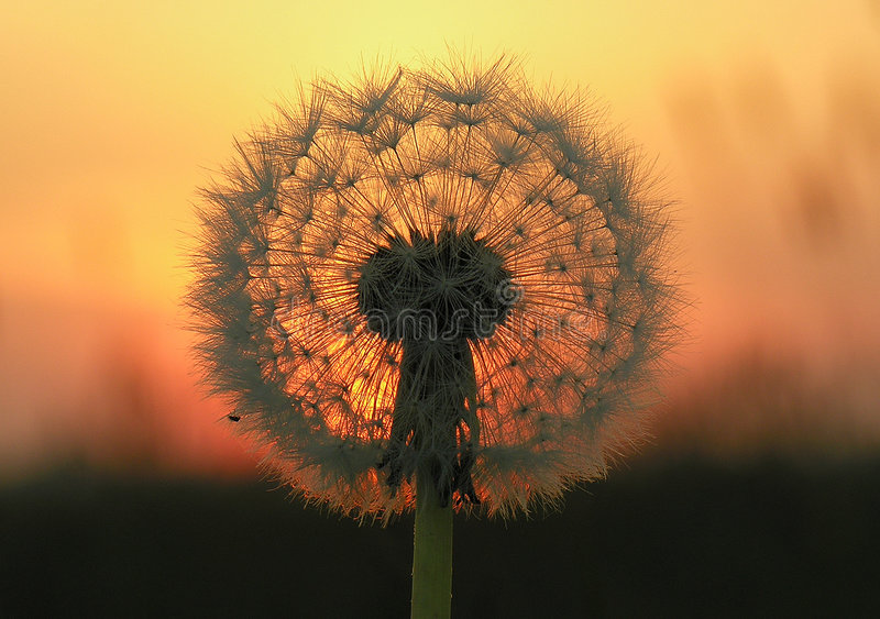 Dandelion Seed Head at Sunset stock image