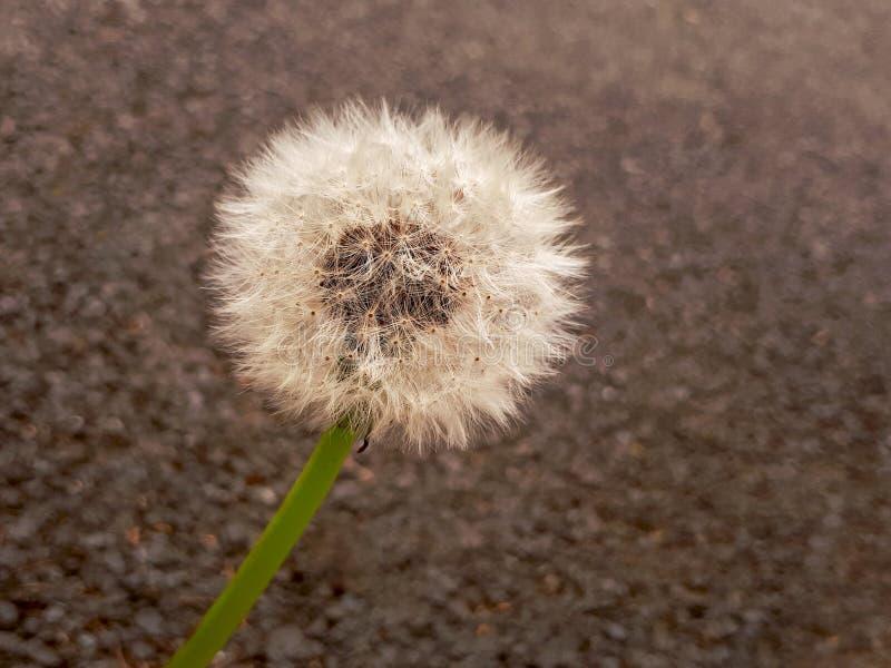 Dandelion Seed Head on Tarmac royalty free stock photo