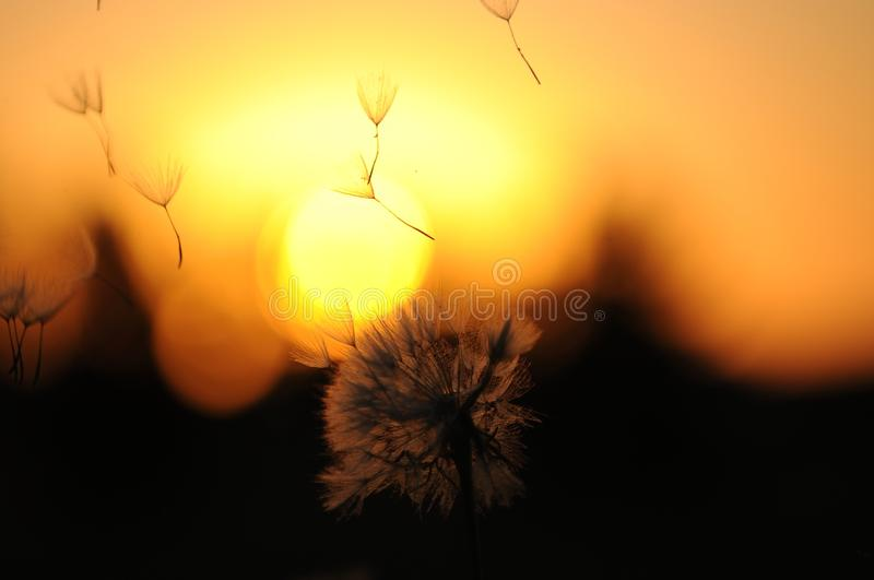 Dandelion Seed Pod blowing in wind stock images